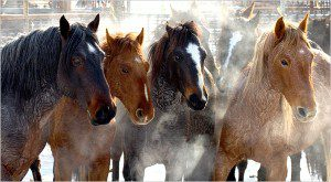 Wild horses of Nevada's Calico Mountains